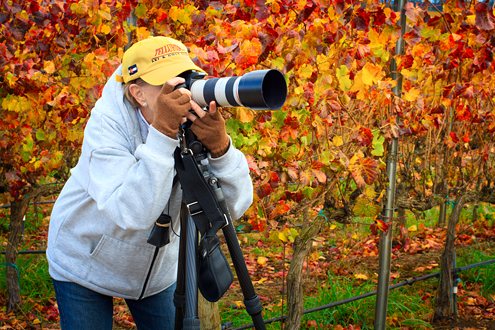 Student photographing in a Fall-colored vineyard.