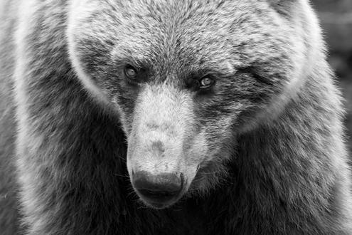 Close up of brown bear face.