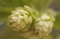 Soft focus close-up of 2 green Cascade hops flowers on a green background.