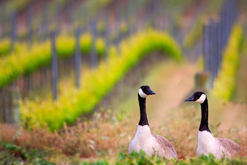Two geece in a vineyard