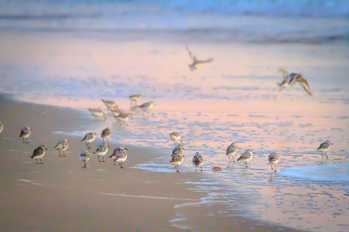 Shore birds run and fly across wet sand reflecting orange and blue sunset light.