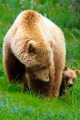 Blonde grizzly bear mother with a cub on a field of green grass.