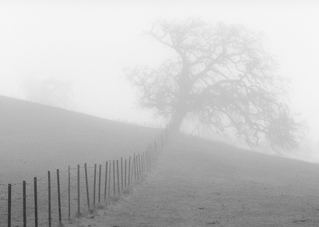 Ranch fence line leading towards a large oak in the fog