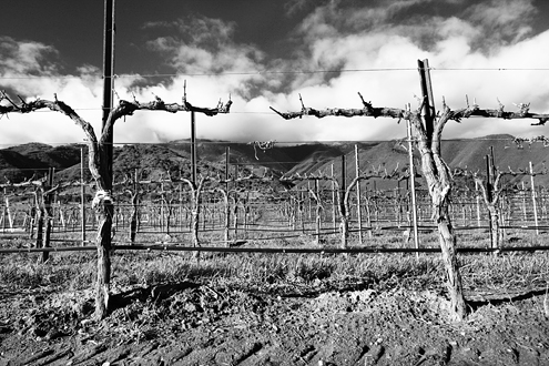 The symbolism and drama in this photo are overwhelming. So many caption possibilities. This is from the Estancia Stonewall Vineyard in the Salinas Valley—Steinbeck Country.