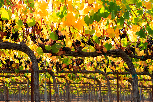 Backlit yellow and green grape leaves and clusters of pinot noir grapes on vineyard trellises that extend into infinity.