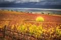 Bright yellow, orange and red leaves in a vineyard landscape with a clearing storm over the Salinas Valley
