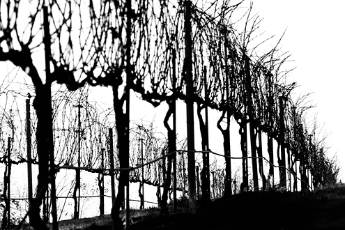 Wild winter vines reach for the sky. The starkness of these silhoutted vines makes for great black and white photography