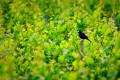 Blackbird on post surrounded by green vineyards.