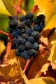 Shriveled black and blue grapes against yellow leaves.