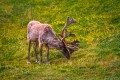 Caribou eating grass.
