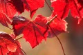 Bright red Pinot Noir grape leaves.