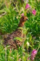 Ptarmigan in green brush and pink flowers.