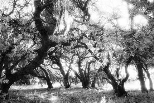 Looking through an oak forest with sunlight cascading through.