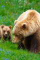 Mother grizzly bear and her cub eating grass.
