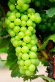A cluster of green Chardonnay grapes ripen on the vine.