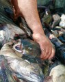 A fisherman's hand grabs a wet slippery fish from a bin of fish.