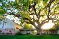 The grounds surrounding a winery in the spring with a hug oak tree.