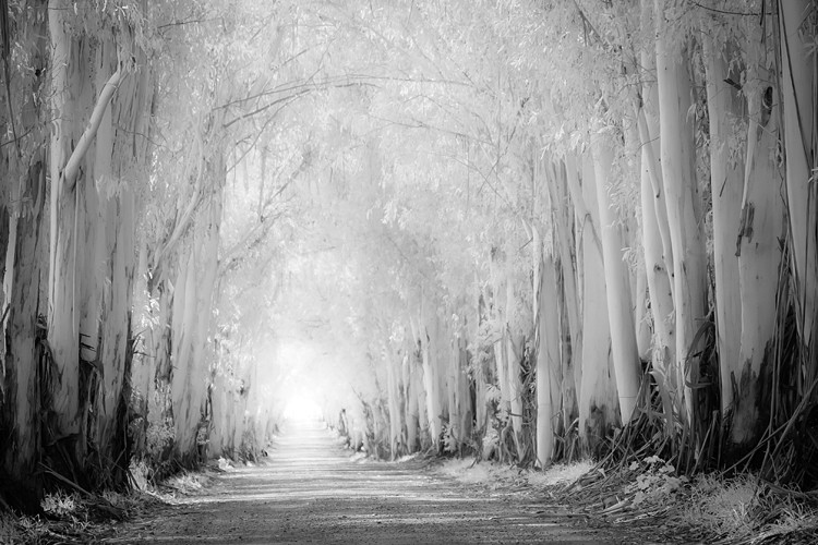 Tunnel of eucalyptus trees