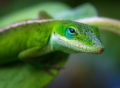 Green anole lizard poses for a portrait on a tropical leaf.