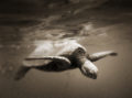Underwater photo of a sea turtle bobbing just below the surface of the ocean of the Na Pali Coast.