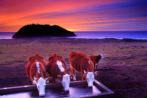 """Cows drinking from a trough at sunset with the Pacific Ocean and Pt. Sur Lighthouse in the background. Like the cheese commercial says, """"Happy cows come from California."""" Wouldn't you be happy living here with a private Big Sur beach all to yourself."""