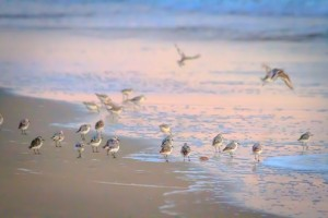 Sanderlings feed and scurrying across wet twilight sky lit sand at the water's edge and take flight.