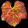 A single brightly colored red, orange, yellow, and green pinot noir leaf sharp with detail cutout on a black background.