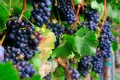 Purple Ripe clusters of Pinot Noir grapes on green leafy vines.