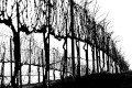 Black and white high contrast photo of wild winter grape vines
