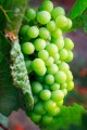 Cluster of green Chardonnay grapes.