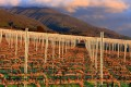 Rows of pruned grape vines with mountains and clouds in the background.
