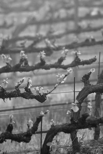 Bud break on a cold foggy morning along the River Road Wine Trail. This collection of more than 100 photos celebrates the art and science of Monterey County winemaking from January to December.