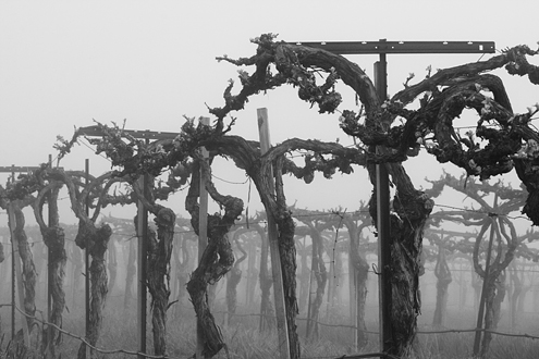 The old vines of Talbott's Sleepy Hollow South Vineyard line up like soldiers on the dawn of battle. This collection of more than 100 photos celebrates the art and science of Monterey County winemaking from January to December.