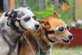Huskies wearing sunglasses.