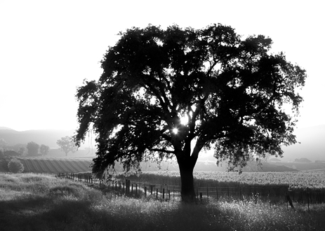 A majestic oak tree stands guard over a vineyard along Jolon Road in the Salinas Valley at sunset.