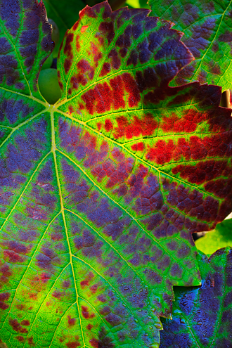 Green, red and purple Pinot Noir grape leaf backlit by the sun.