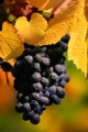 Over ripe purple Pinot Noir berries with yellow leaves.
