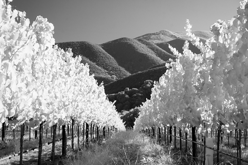 Glowing white Chardonnay vineyard at the Hahn SLH Estate Winery nestled at the foot of the Santa Lucia Mountains on a summer afternoon.