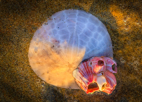 Golden sunset light illuminates a submerged sand dollar with a red and white barnacle on it.