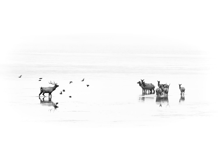 Roosevelt elk and birds on an almost white background