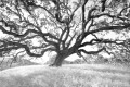A huge oak tree sits atop a grassy hill on the former Fort Ord.