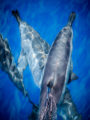 Dolphins crisscross just below the ocean surface with sunlight shimmering off their gray bodies.